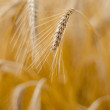 Mature wheat - Stock Photo