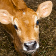 Stock Photo: Young jersey bull