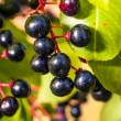 Aronia fruits — Stockfoto