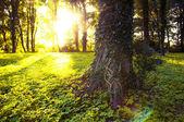 Bos in de ochtend met zonnestralen — Stockfoto