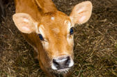 Young jersey bull — Stock Photo