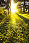 Forest in the morning with sunrays — Stock Photo
