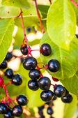 арония плоды — Стоковое фото