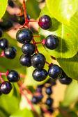 Aronia fruits — Stock Photo
