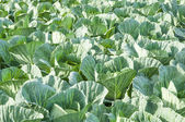 Cabbage ready to harvest — Stock Photo