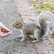 Stock Photo: Feed a squirel