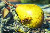 Wasp eaten pear — Stock Photo