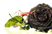 Dried red rose — Stock Photo