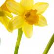 Yellow daffodil in pot — Stock Photo