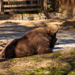 Stock Photo: Bison lounging