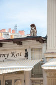 Dog on the roof watching the passers-restaurant — Zdjęcie stockowe