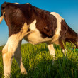 Calves in the meadow race — Stock Photo