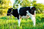 Calves in the meadow race hf — Stock Photo