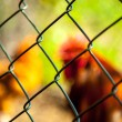 Free-range chickens — Stock Photo