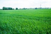 Milho crescendo em um campo na primavera — Fotografia Stock