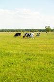 Terneros en el prado — Foto de Stock
