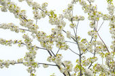 Blossoming branch with white flowers. — Stock Photo