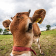 Jersey cow in the meadow — Stock Photo