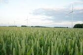 Orecchie di grano verde sul campo — Foto Stock