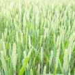 Green wheat ears on the field — Stock Photo