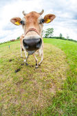 Jersey cow in the meadow — Fotografia Stock