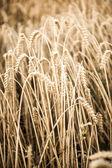 Grain field in autumn — Stock Photo