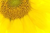 Tournesol de fleurs — Photo