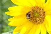 çiçekli ayçiçeği — Stok fotoğraf