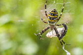 Spider on insect attack — Stock Photo