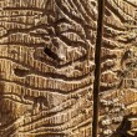 besouros de bark corredores em madeira morta — Foto Stock