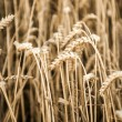 Grain yield in autumn — Stock Photo
