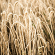 Stock Photo: Grain yield in autumn