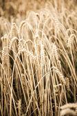 Výnos zrna na podzim — Stock fotografie