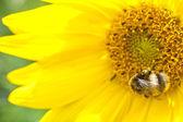 Blommande solrosor — Stockfoto