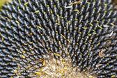 Nahaufnahme einer ausgereiften Sonnenblume — Stockfoto