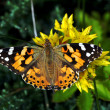 Butterfly Painted Lady or Cosmopolitan — Stock Photo #12262588