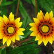 Stock Photo: Yellow gazaniflowers