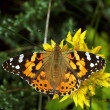 Butterfly Painted Lady or Cosmopolitan — Stock Photo #13801449