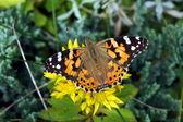 Utterfly окрашенные леди или cosmopolitan — Стоковое фото