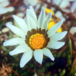 White gazania flower — Stock Photo