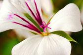 White Pelargonium flower commonly known as geraniums — Stock Photo