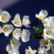Tree with white flowers — Stock Photo #18683759