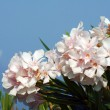 White flowers of nerium oleander — Stock Photo