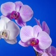 White and pink orchid flower — Stock Photo