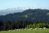 Flock of sheep in Pieniny mountains — Stock Photo
