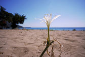 African Agapanthus flower on the beach — Stock Photo