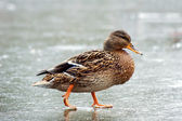 Duck walking on ice — Stock Photo