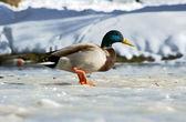 Kachní chůzi na ledu — Stock fotografie