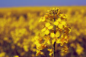 Field of flowering oilseed rape in Poland — Stock Photo