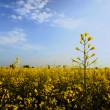 Stock Photo: Rape crop at evening